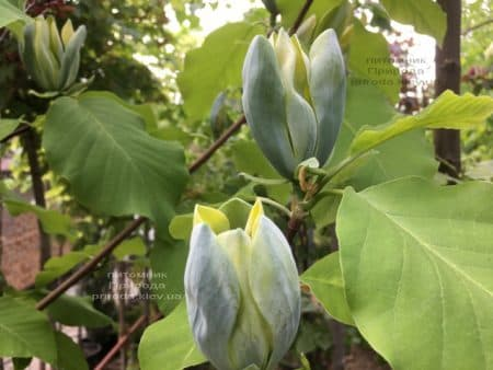 Магнолия Голубой Опал (Maqnolia acuminata Blue Opal) ФОТО Питомник растений Природа (37)