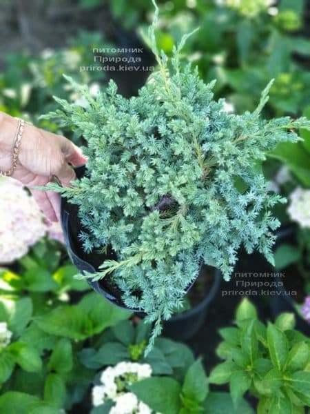 Можжевельник чешуйчатый Блю Карпет (Juniperus squamata Blue Carpet) ФОТО Питомник растений Природа (13)