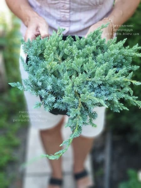 Можжевельник чешуйчатый Блю Карпет (Juniperus squamata Blue Carpet) ФОТО Питомник растений Природа (14)