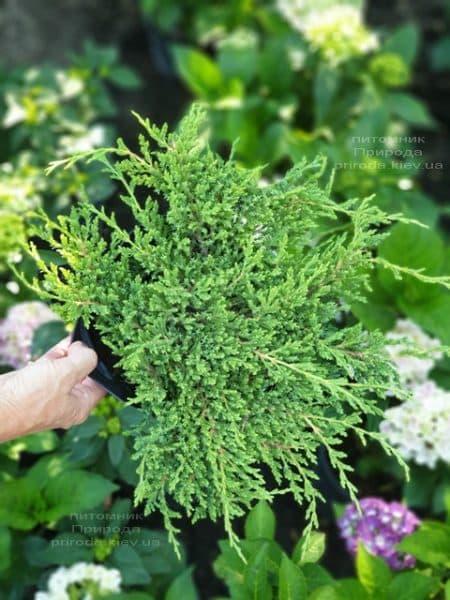 Ялівець горизонтальний Принц Уельський (Juniper horizontalis Prince of Wales) ФОТО Розплідник рослин Природа (7)