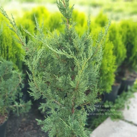 Можжевельник китайский Блю Поинт (Juniperus chinensis Blue Point) ФОТО Питомник растений Природа (1)