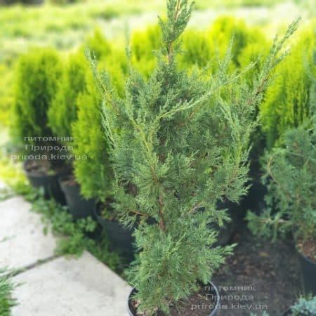 Можжевельник китайский Блю Поинт (Juniperus chinensis Blue Point) ФОТО Питомник растений Природа (2)