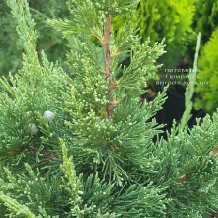 Можжевельник китайский Блю Поинт (Juniperus chinensis Blue Point) ФОТО Питомник растений Природа (3)