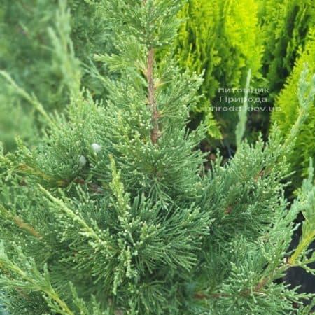 Можжевельник китайский Блю Поинт (Juniperus chinensis Blue Point) ФОТО Питомник растений Природа (4)