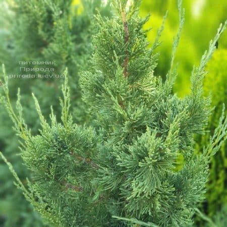 Можжевельник китайский Блю Поинт (Juniperus chinensis Blue Point) ФОТО Питомник растений Природа (5)