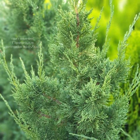 Ялівець китайський Блю Поінт (Juniperus chinensis Blue Point) ФОТО Розплідник рослин Природа (5)