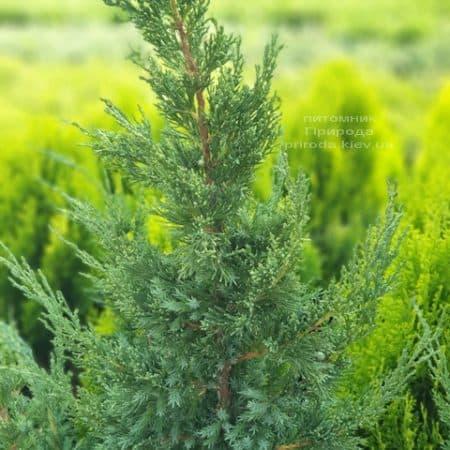 Можжевельник китайский Блю Поинт (Juniperus chinensis Blue Point) ФОТО Питомник растений Природа (6)