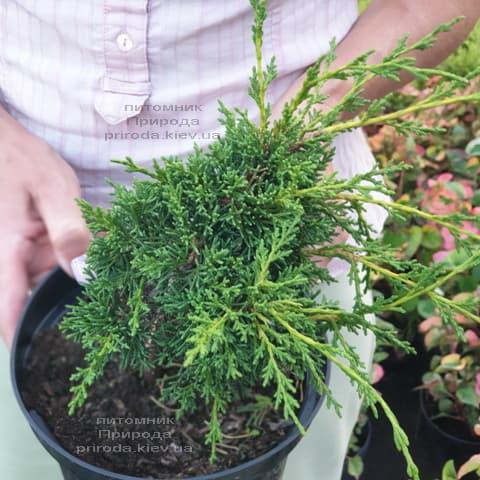 Ялівець китайський Шімпаку (Juniperus chinensis Shimpaku) ФОТО Розплідник рослин Природа