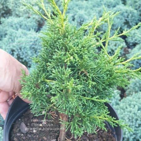 Можжевельник китайский Шимпаку (Juniperus chinensis Shimpaku) ФОТО Питомник растений Природа (4)