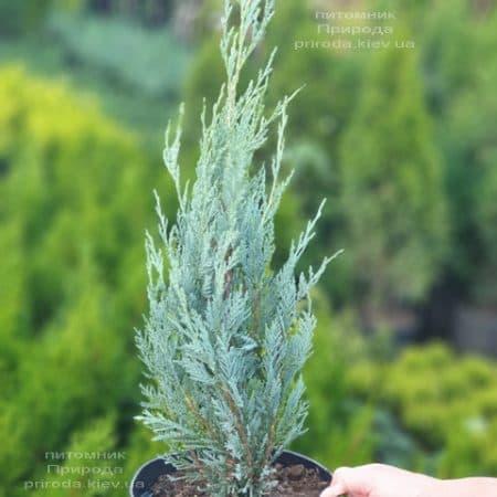 Можжевельник скальный Мунглов (Juniperus scopolorum Moonglow) ФОТО Питомник растений Природа (19)