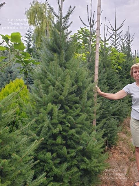 Пихта бальзамическая (Abies balsamea) ФОТО Питомник растений Природа (10)