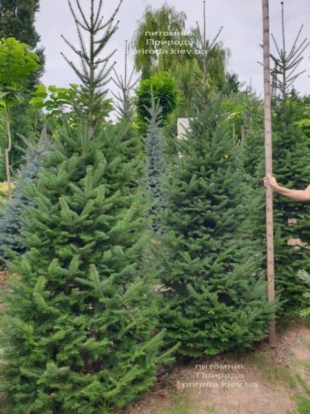 Ялиця бальзамическая (Abies balsamea) ФОТО Розплідник рослин Природа (6)
