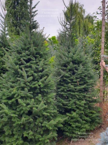Ялиця бальзамическая (Abies balsamea) ФОТО Розплідник рослин Природа (7)