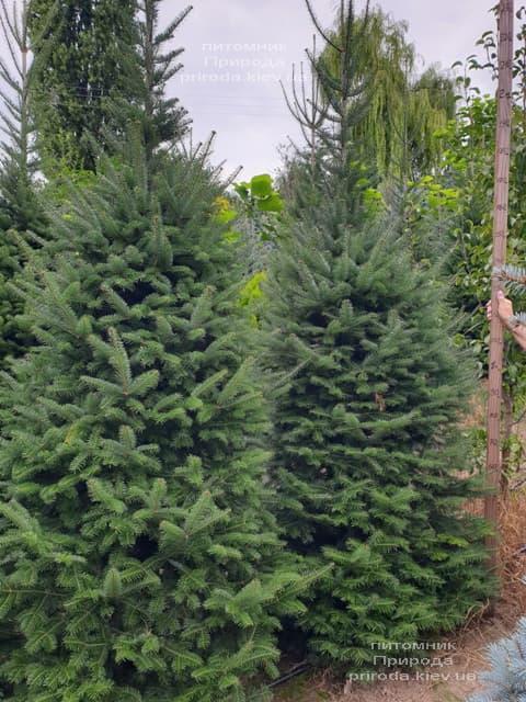 Пихта бальзамическая (Abies balsamea) ФОТО Питомник растений Природа (7)