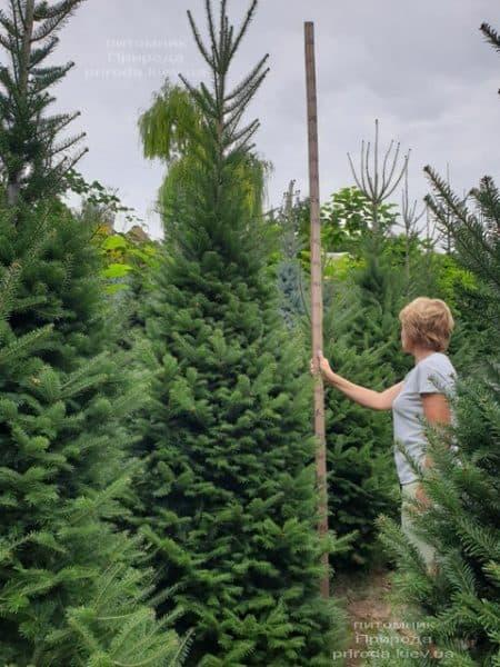 Пихта бальзамическая (Abies balsamea) ФОТО Питомник растений Природа (8)