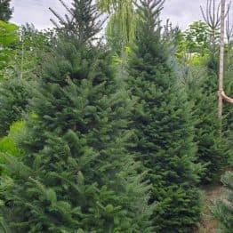 Пихта бальзамическая (Abies balsamea) ФОТО Питомник растений Природа (9)