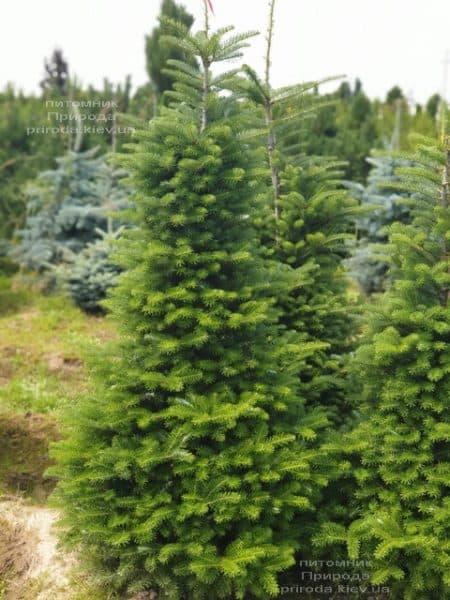 Ялиця корейська (Abies koreana) ФОТО Розплідник рослин Природа (18)
