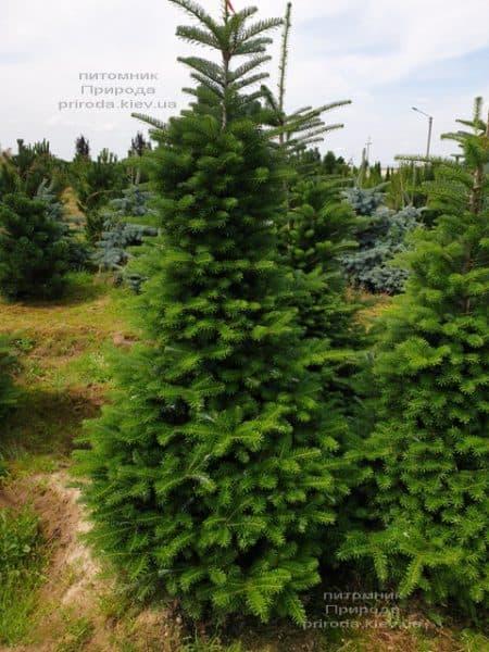 Ялиця корейська (Abies koreana) ФОТО Розплідник рослин Природа (19)