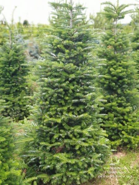 Ялиця корейська (Abies koreana) ФОТО Розплідник рослин Природа (21)