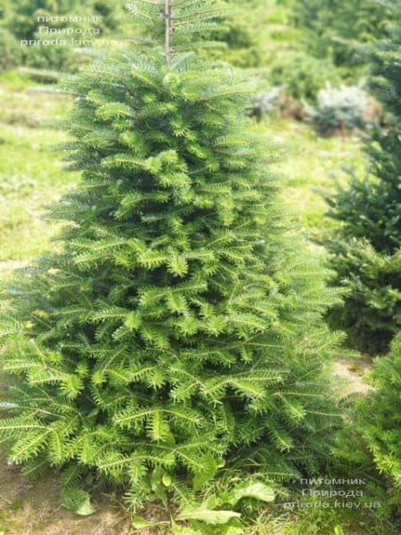 Пихта корейская (Abies koreana) ФОТО Питомник растений Природа (22)