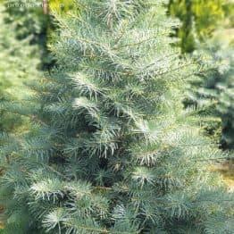 Ялиця одноколірна (Abies Concolor) ФОТО Розплідник рослин Природа (41)