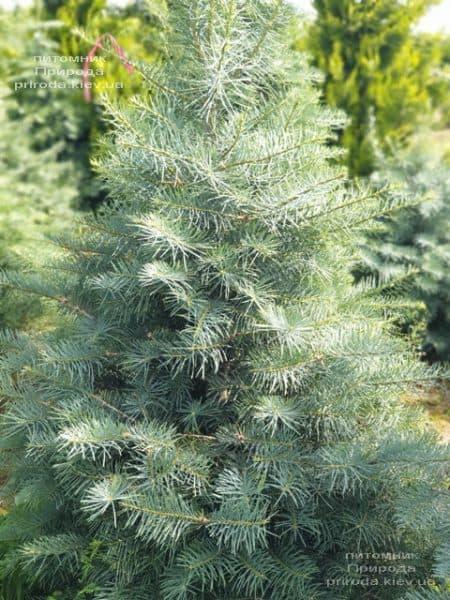 Пихта одноцветная (Abies Concolor) ФОТО Питомник растений Природа (41)