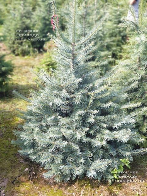 Пихта одноцветная (Abies Concolor) ФОТО Питомник растений Природа (45)