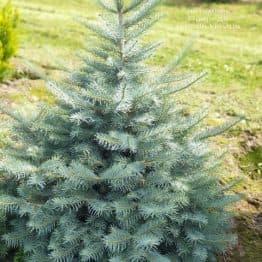 Пихта одноцветная (Abies Concolor) ФОТО Питомник растений Природа (46)