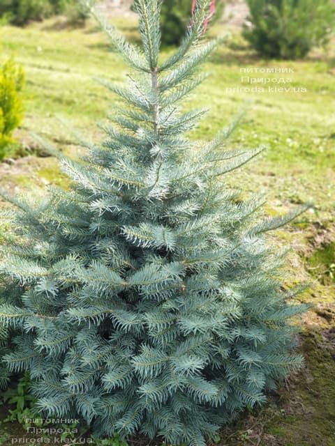 Ялиця одноколірна (Abies Concolor) ФОТО Розплідник рослин Природа (46)