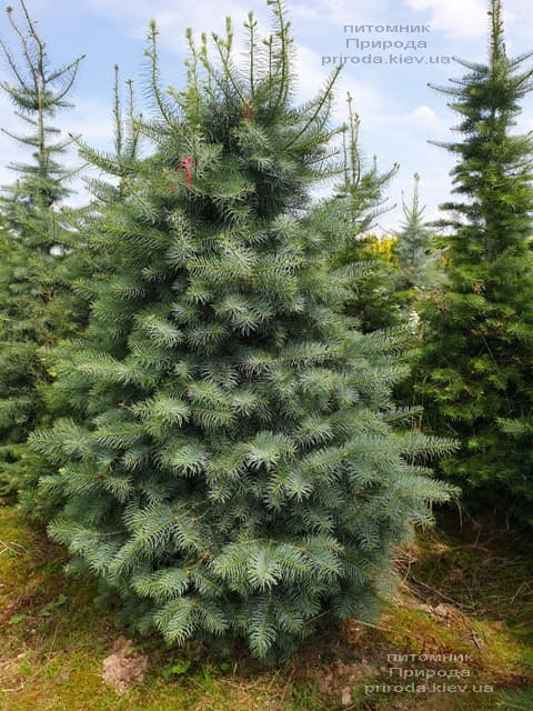 Ялиця одноколірна (Abies Concolor) ФОТО Розплідник рослин Природа (48)