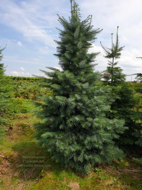 Пихта одноцветная (Abies Concolor) ФОТО Питомник растений Природа (49)