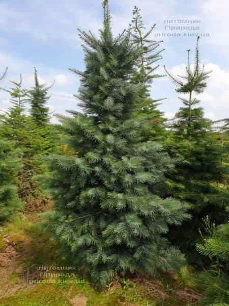 Пихта одноцветная (Abies Concolor) ФОТО Питомник растений Природа (50)