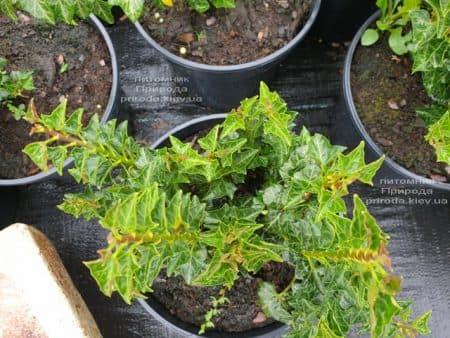 Плющ Эректа (Hedera helix Erecta) ФОТО Питомник растений Природа (1)