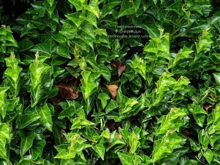Плющ Эректа (Hedera helix Erecta) ФОТО Питомник растений Природа (2)