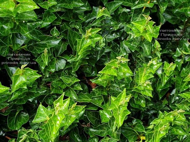 Плющ Эректа (Hedera helix Erecta) ФОТО Питомник растений Природа (4)