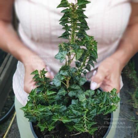Плющ Эректа (Hedera helix Erecta) ФОТО Питомник растений Природа (5)