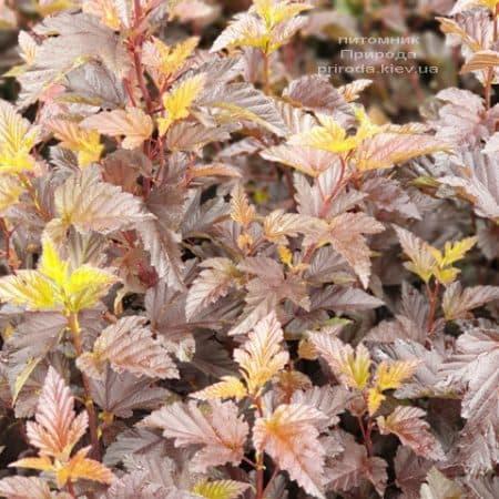 Міхуроплідник калінолістний Андре (Physocarpus opulifolius Andre) ФОТО Розплідник рослин Природа (1)
