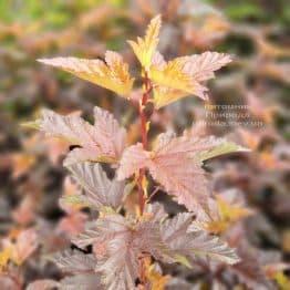 Пузыреплодник калинолистный Андре (Physocarpus opulifolius Andre) ФОТО Питомник растений Природа (2)