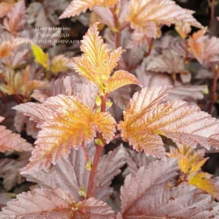 Міхуроплідник калінолістний Андре (Physocarpus opulifolius Andre) ФОТО Розплідник рослин Природа (3)