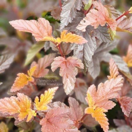 Міхуроплідник калінолістний Андре (Physocarpus opulifolius Andre) ФОТО Розплідник рослин Природа (4)