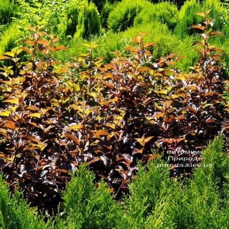 Міхуроплідник калінолістний Андре (Physocarpus opulifolius Andre) ФОТО Розплідник рослин Природа (5)