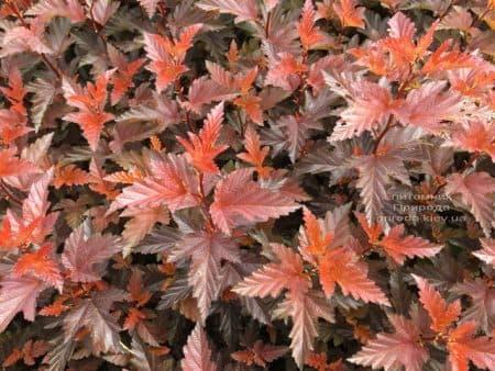 Пузыреплодник калинолистный Литл Ангел (Physocarpus opulifolius Little Angel) ФОТО Питомник растений Природа (1)