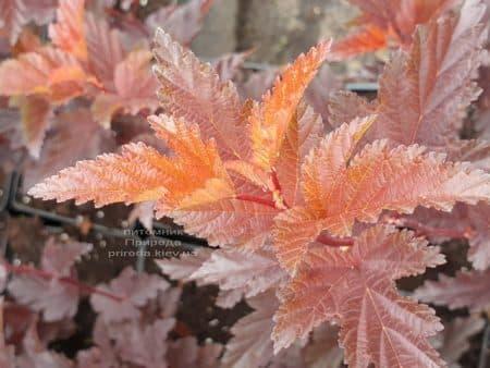 Пузыреплодник калинолистный Литл Ангел (Physocarpus opulifolius Little Angel) ФОТО Питомник растений Природа