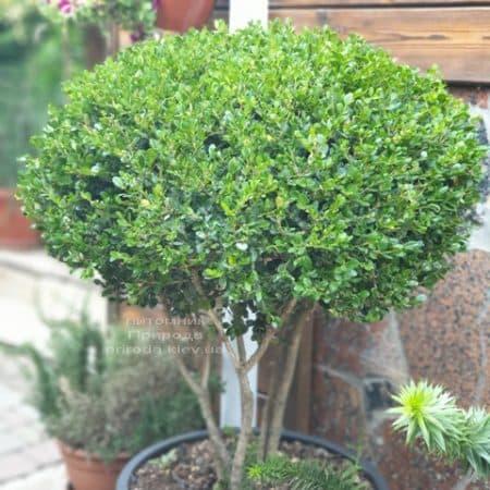 Самшит мелколістний Фолкнер на ніжках (Buxus microphilla Faulkner) ФОТО Розплідник рослин Природа (5)