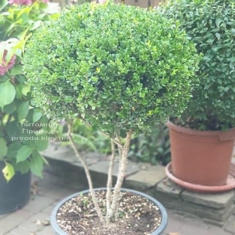Самшит мелколистный Фолкнер на ножках (Buxus microphilla Faulkner) ФОТО Питомник растений Природа (6)