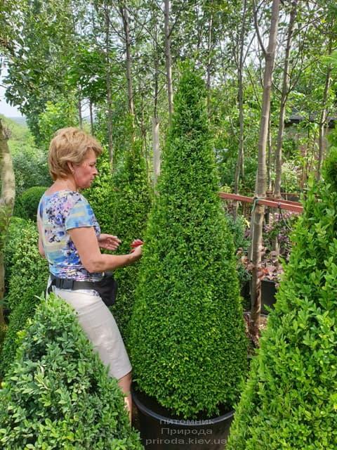 Самшит - стриженные формы ФОТО Питомник растений Природа (1)