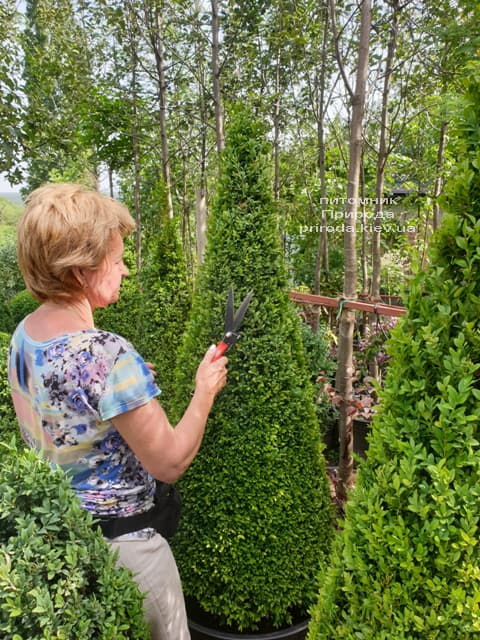 Самшит - стриженные формы ФОТО Питомник растений Природа (2)