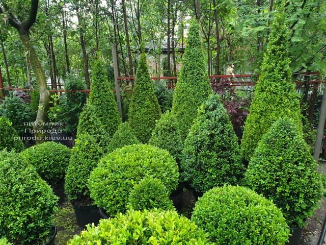 Самшит - стрижені форми ФОТО Розплідник рослин Природа (5)