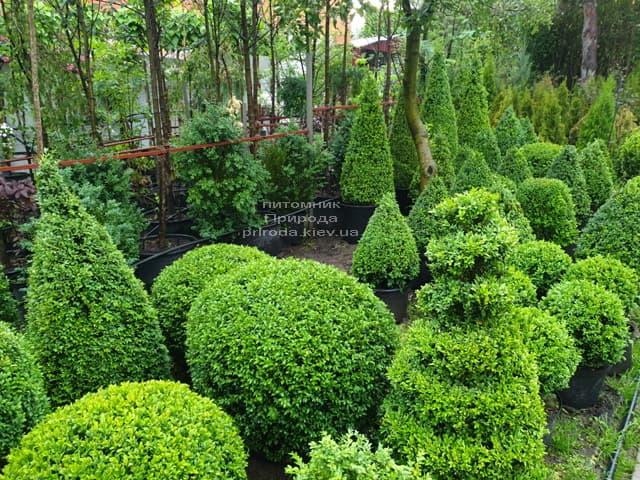 Самшит - стрижені форми ФОТО Розплідник рослин Природа (6)