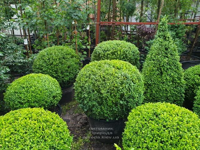 Самшит - стриженные формы ФОТО Питомник растений Природа (7)